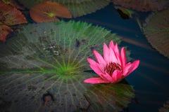 Loto rosa del fiore di Lotus bello. Fotografie Stock