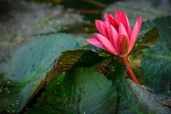 Loto rosa del fiore di Lotus bello. Immagine Stock