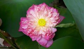 Loto rosa della piena fioritura Fotografie Stock Libere da Diritti