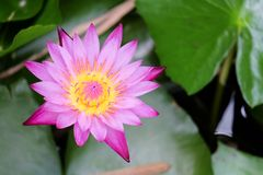 Loto rosa rosa di fioritura di Miami Fotografia Stock Libera da Diritti