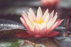 Loto rosa fra lo stagno Fiore tropicale esotico su un fondo verde chiaro Acqua lilly fogliame fotografia stock