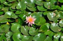 Loto rosa in lago Immagine Stock Libera da Diritti