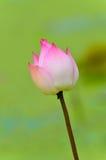 Loto rosado Imagen de archivo