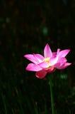 Loto rosado 3 foto de archivo libre de regalías