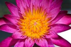 Loto rosado Fotos de archivo