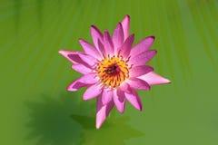 Loto rosado Imagenes de archivo