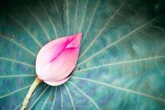 Loto rosado Fotos de archivo libres de regalías
