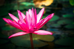 Loto rosado Imagen de archivo libre de regalías