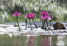 Loto rosado Foto de archivo libre de regalías