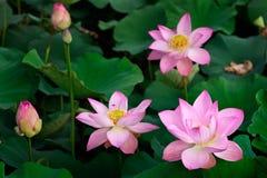 Loto rosado Fotografía de archivo libre de regalías