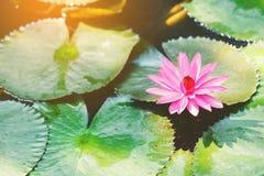 Loto rosado Fotografía de archivo
