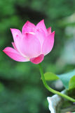 Loto rosado agraciado Foto de archivo libre de regalías