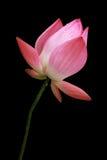 Loto rosado aislado Imágenes de archivo libres de regalías