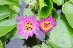 Loto rosado con la abeja Fotos de archivo