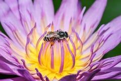 Loto rosado con la abeja Fotografía de archivo