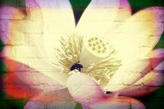 Loto rosado con la abeja para el uso de la textura Imágenes de archivo libres de regalías
