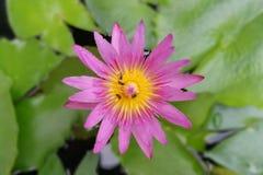 Loto rosado con la pequeña abeja Imagen de archivo