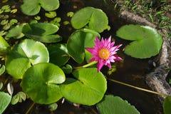 Loto rosado en el agua entre las hojas Imagenes de archivo