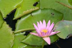 Loto rosado en el jardín botánico Fotografía de archivo libre de regalías