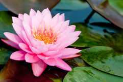 Loto rosado en el río Imagen de archivo libre de regalías