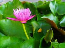 Loto rosado en fondo verde de la hoja en la charca imagen de archivo libre de regalías