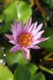 Loto rosado en la charca natural Foto de archivo libre de regalías