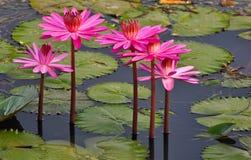 Loto rosado en un lago Fotos de archivo