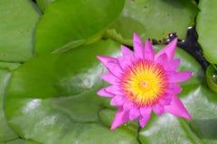 Loto rosado floreciente hermoso fotografía de archivo libre de regalías