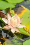 Loto rosado floreciente hermoso en la piscina Imagen de archivo