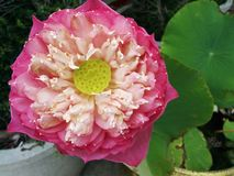 Loto rosado grande Foto de archivo libre de regalías
