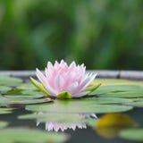 Loto rosado hermoso Foto de archivo libre de regalías