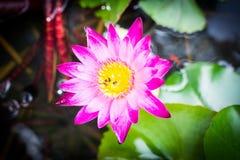 Loto rosado hermoso Imágenes de archivo libres de regalías