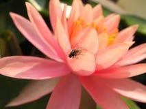Loto rosado hermoso con la mosca Foto de archivo