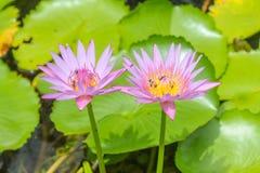 Loto rosado púrpura floreciente y pequeñas abejas Imagenes de archivo