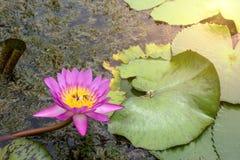 Loto rosado que florece con luz del sol de la mañana Fotos de archivo