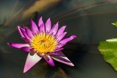 Loto rosado que florece en el lago Foto de archivo libre de regalías