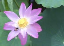 Loto rosado que florece en la charca con la abeja Foto de archivo