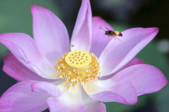 Loto rosado que florece en la charca con la abeja Fotografía de archivo