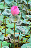 Loto rosado que flota, (flor del nucifera del Nelumbo) foto de archivo