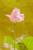 Loto rosado sagrado en la charca. Foto de archivo