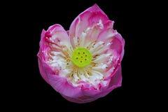 Loto rosado tan hermoso Fotografía de archivo