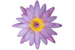 Loto rosado violeta de la floración con base amarilla Imagenes de archivo