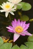 Loto rosado y blanco o lirio de agua Foto de archivo libre de regalías