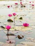 Loto rosso nello stagno a Wapi Pathum Maha Sarakham, Tailandia fotografie stock