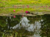 Loto rosso nello stagno a Wapi Pathum Maha Sarakham, Tailandia fotografia stock