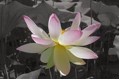 Loto sagrado Imagen de la flor en fondo monocromático fotografía de archivo libre de regalías