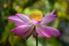 Loto tropicale nel rosa Fotografie Stock
