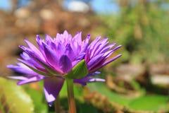 Loto violeta Fotos de archivo