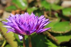 Loto violeta Fotos de archivo libres de regalías
