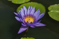 Loto violeta con la floración media amarilla en el lago Fotos de archivo libres de regalías